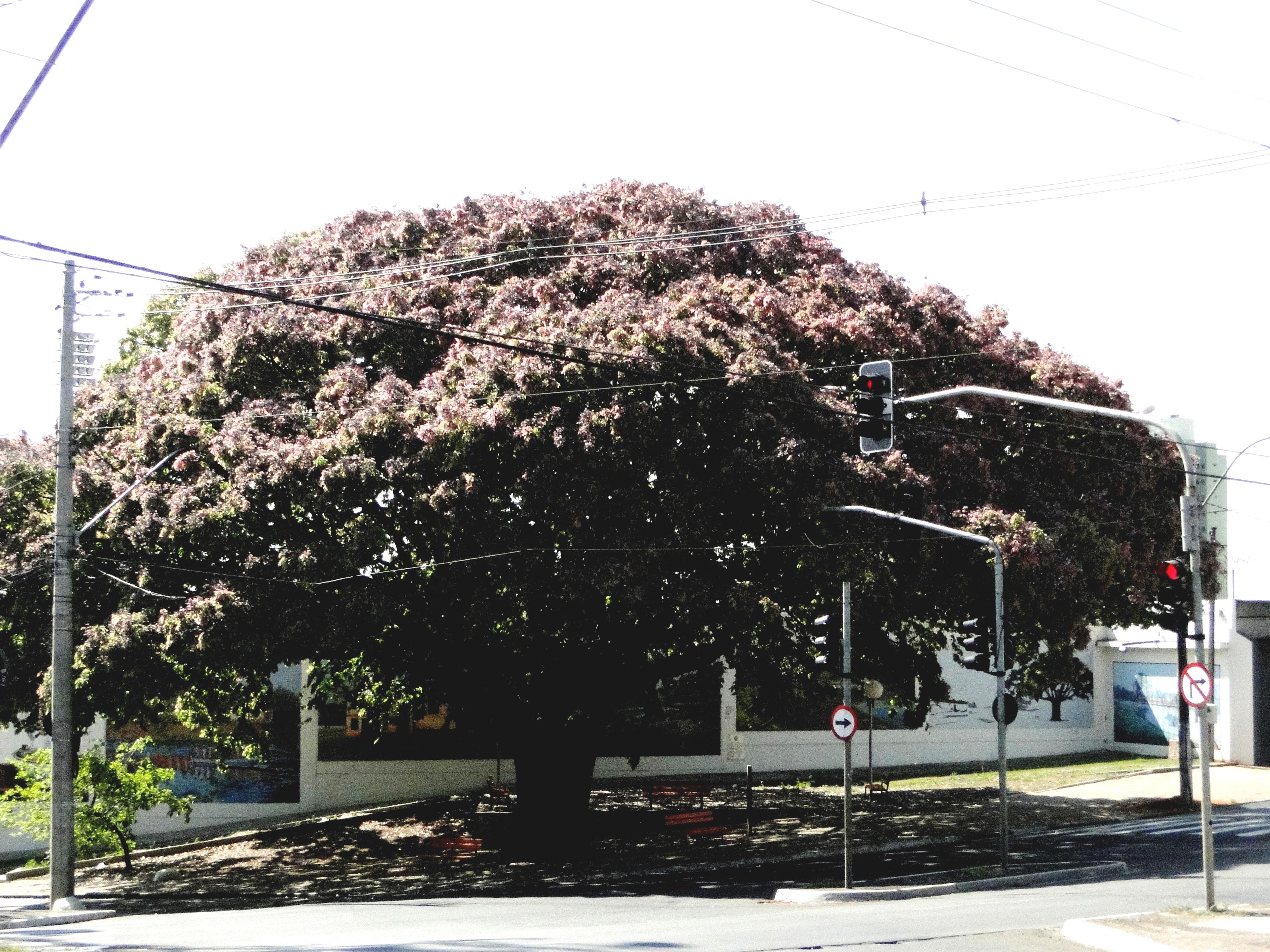 Piracicaba e as árvores da Vida – por Ana Marly Jaconino