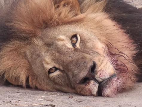 Cecil, o Leão.